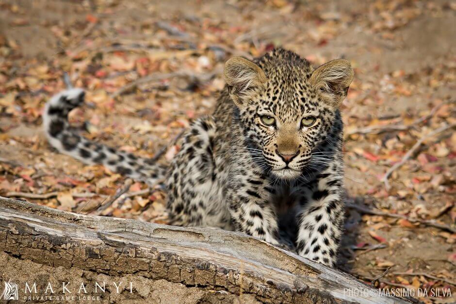 Leopard cub makes his first appearance